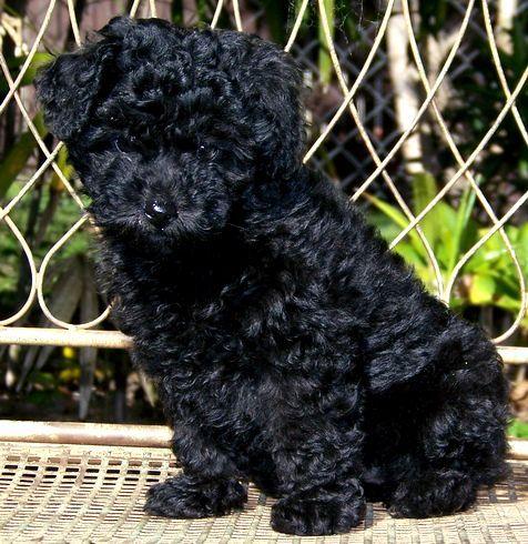 Black Toy Poodle Mix Photo Poodle Puppy Poodle Dog Miniature