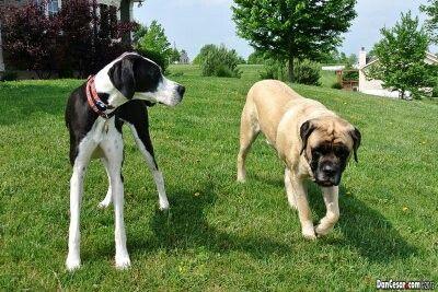 Great Dane And A English Mastiff Big Cute Adorable Pooch