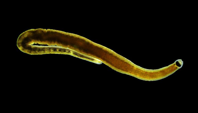 Sathyabama scientists discover new nemertean worm from Chennai's Kovalam beach