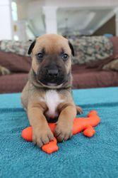 Adopt Casey On Boxer Dogs Mixed Boy Adoption