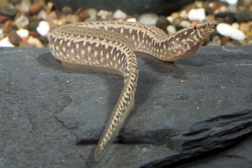 picture of Mastacembelus Eel Med                                                                                Afromastacembelus sp.