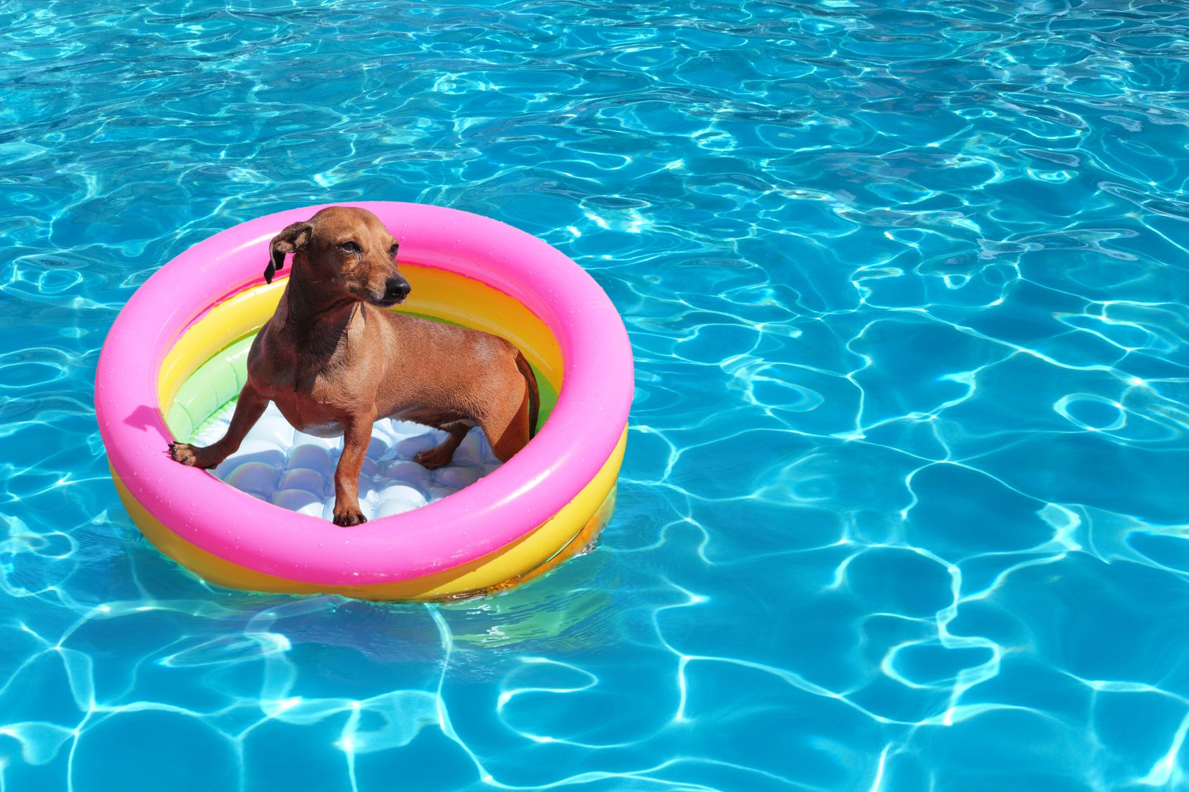 Swimming Pool Safety for Dogs Water Dogs Pinterest Dog