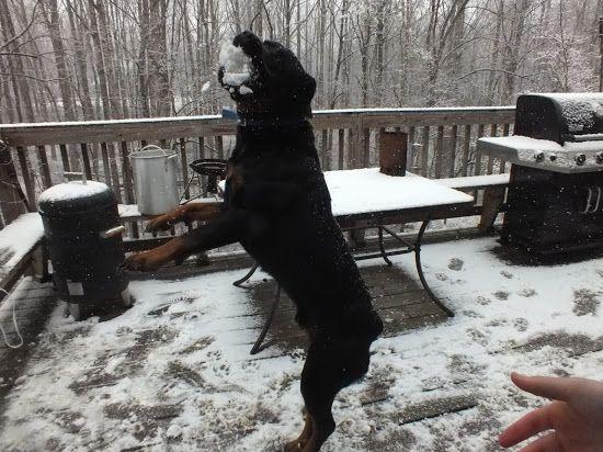 Around Roanoke Va A Daily Photo Blog Big Dog Breeds Rottweiler Big Dogs
