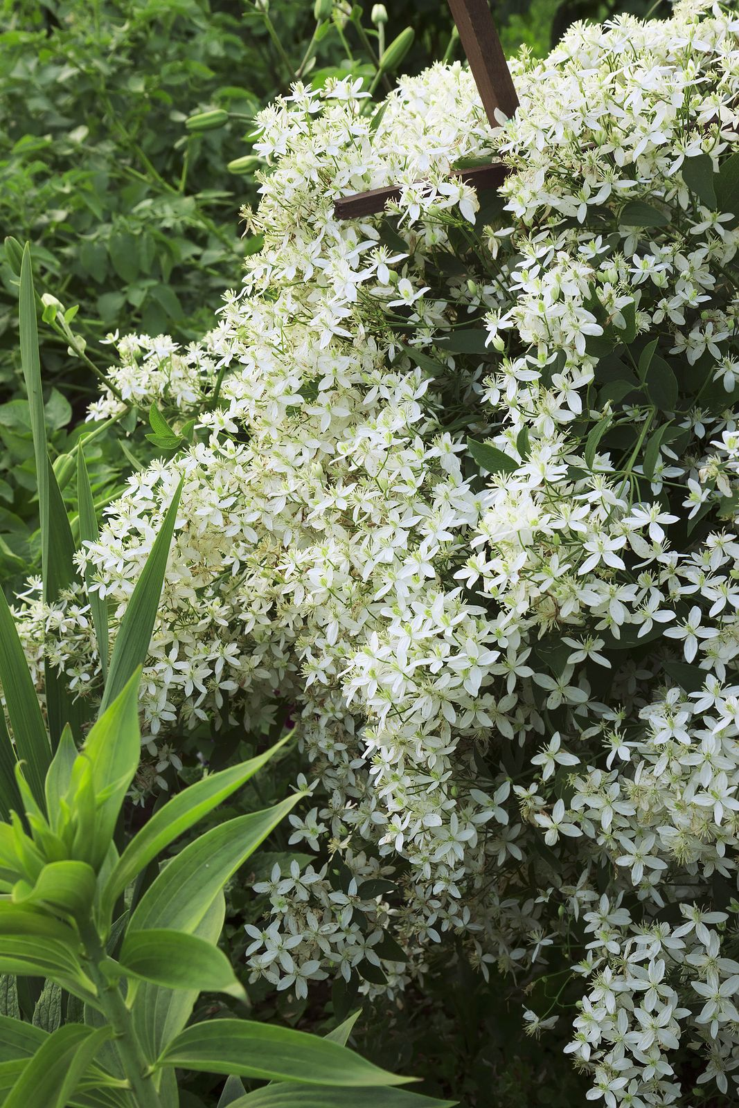 Flowers you can plant in the fall - Beautiful White Flowers Summer And Early Fall Clematis Terniflora 1 Of 5 Fastest Growing Twining