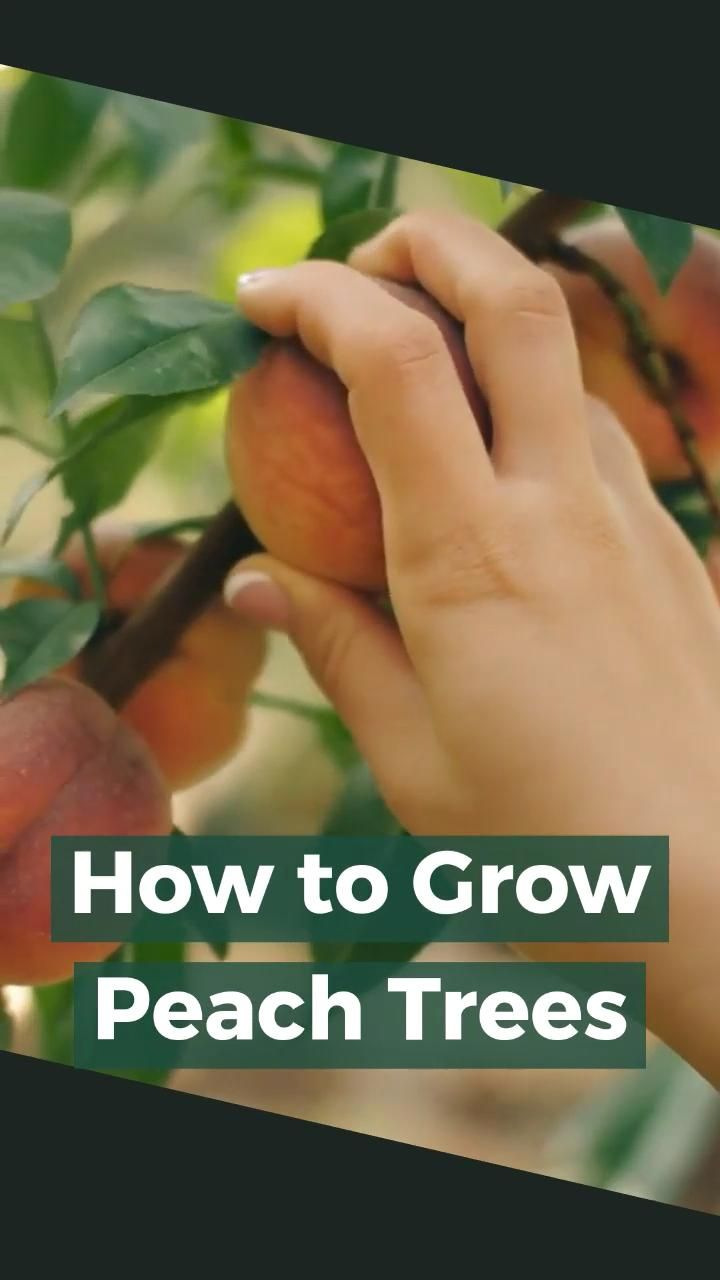 How To Grow Peach Trees Video Peach Trees Fruit Trees Fruit Garden