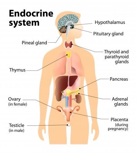 The Endocrine System And How It Relates To Estrogen