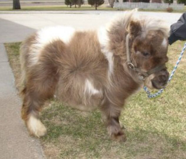 Cutest horse ever!#Fluffieness