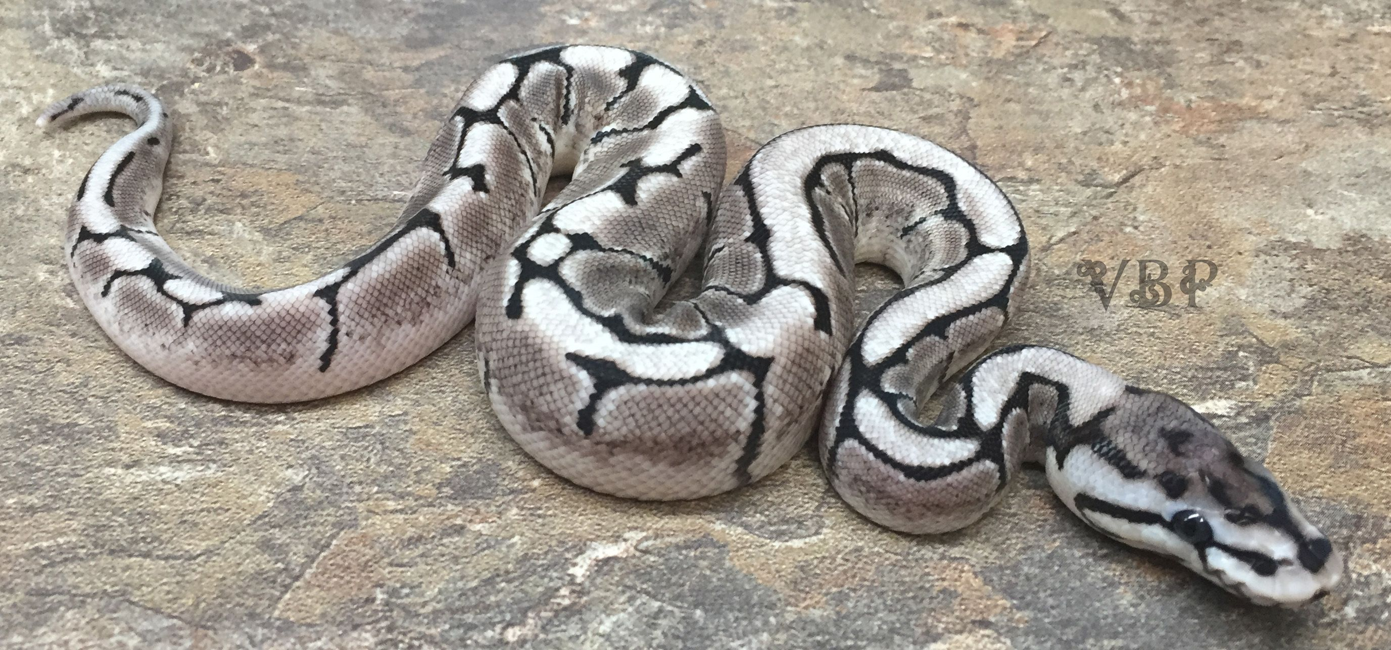 Vpi Axanthic Spider Ball Python By Vesper Ball Pythons Ball Python Pretty Snakes Cute Snake