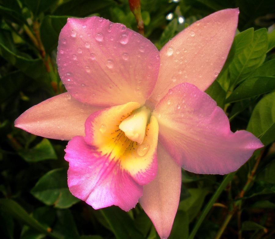 Cattleya hybrid orchid i love orquids pinterest for Orchidea cattleya