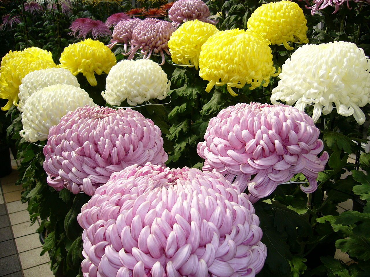 The Chrysanthemum Is Also The National Flower Of Japan Chrysanthemum Plant Chrysanthemum Morifolium Flowers
