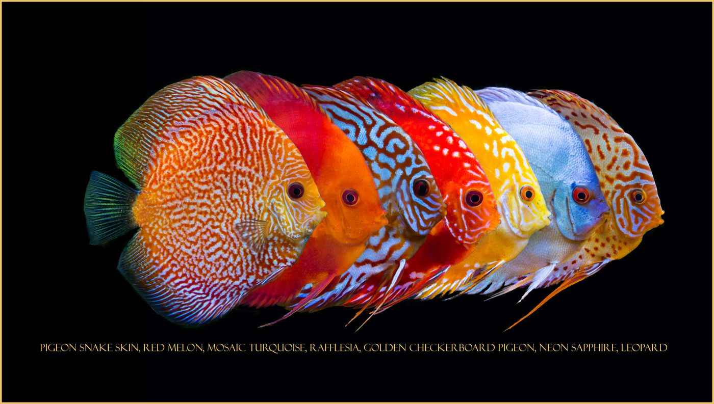 Line up of some of my discus discus pinterest discus for Best place to buy discus fish