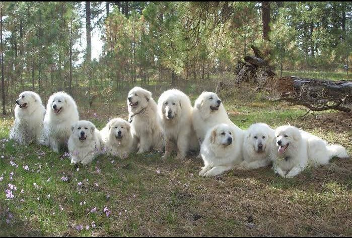 Pyr Bliss Farm Great Pyrenees Dog