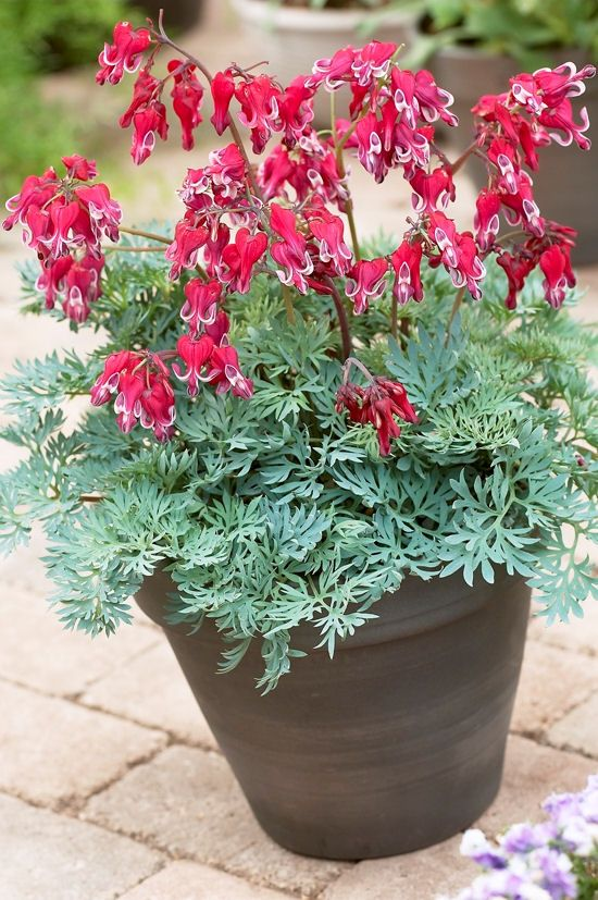 Fringed Burning Hearts Dicentra 6 12 Tall Blooms May Sept Mid Spring First Frost Z 3 9 Perennial Partial Shade Bleeding Heart Flower Pots Perennials