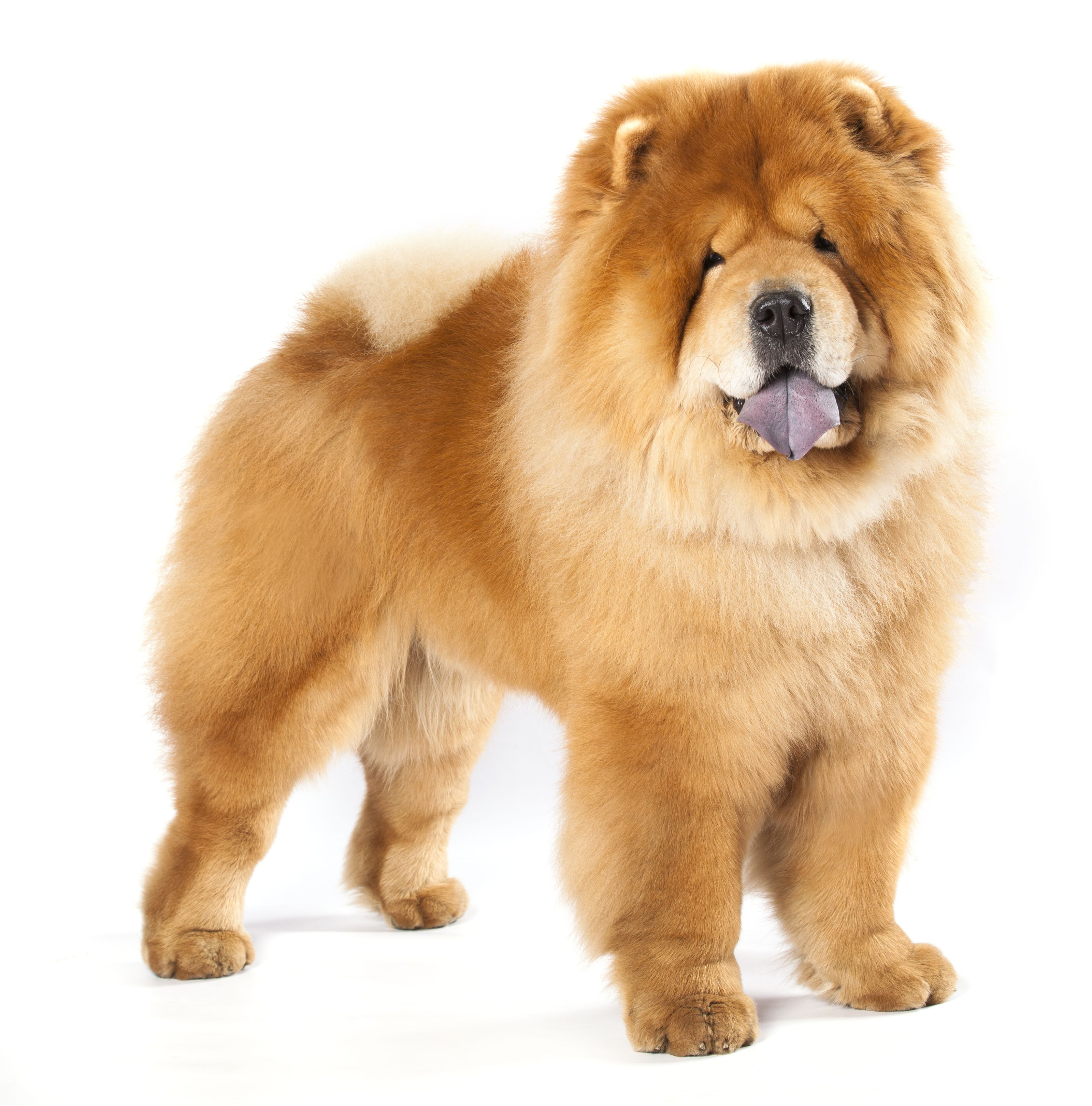 Chow Chow Price Temperament Life Span Chow Chow Dogs