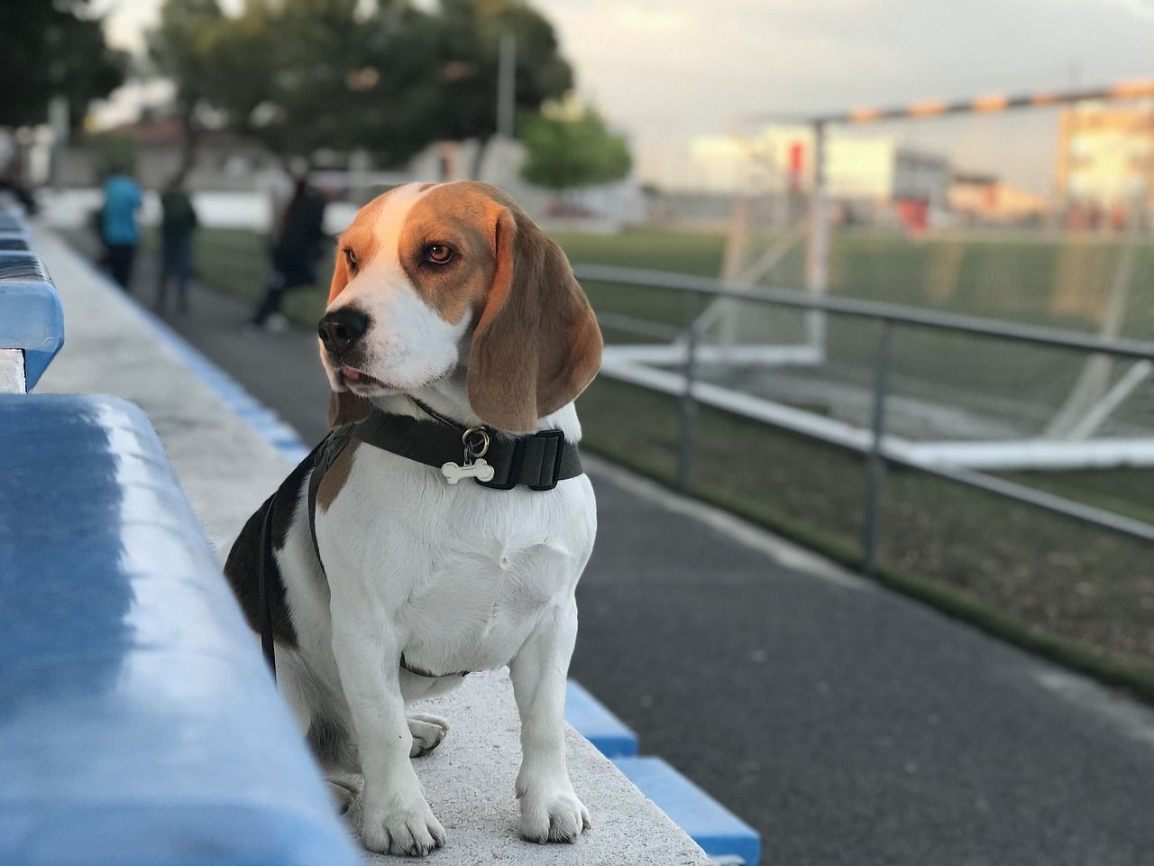 Beagle In Soccer Field With Collar Bone Shaped Click The Link For