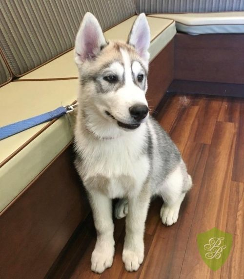 Puppies For Sale Texas Siberian Husky Breeders Siberian Husky