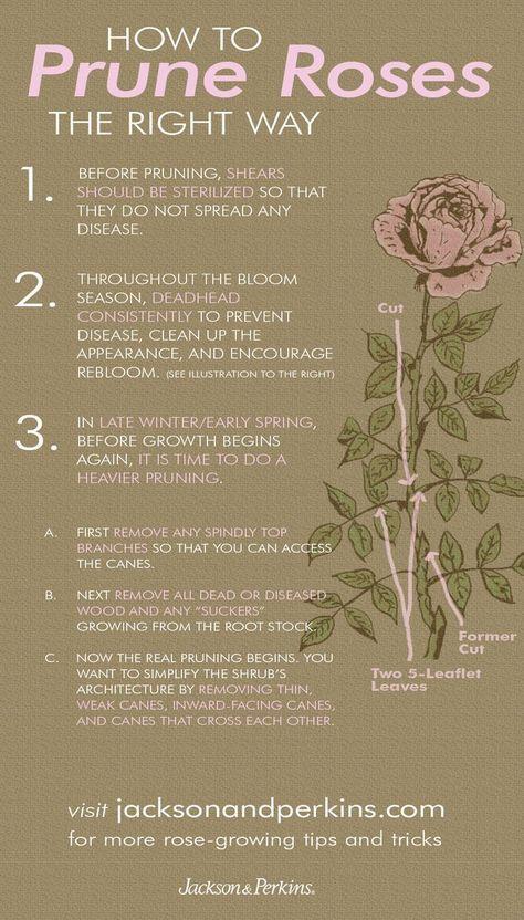 Winter Rose Bush Pruning I Rightplantz Com Rose Bush Blooming Plants When To Prune Roses