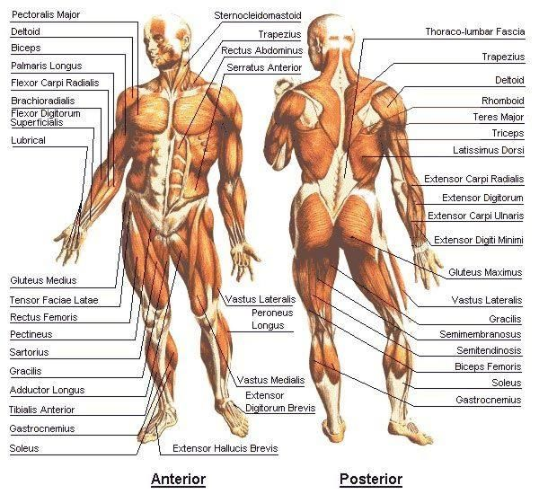 Acupuncture Points Human Anatomy Google Search Anatomia