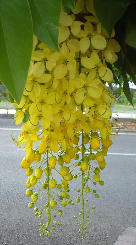 The cassia flower