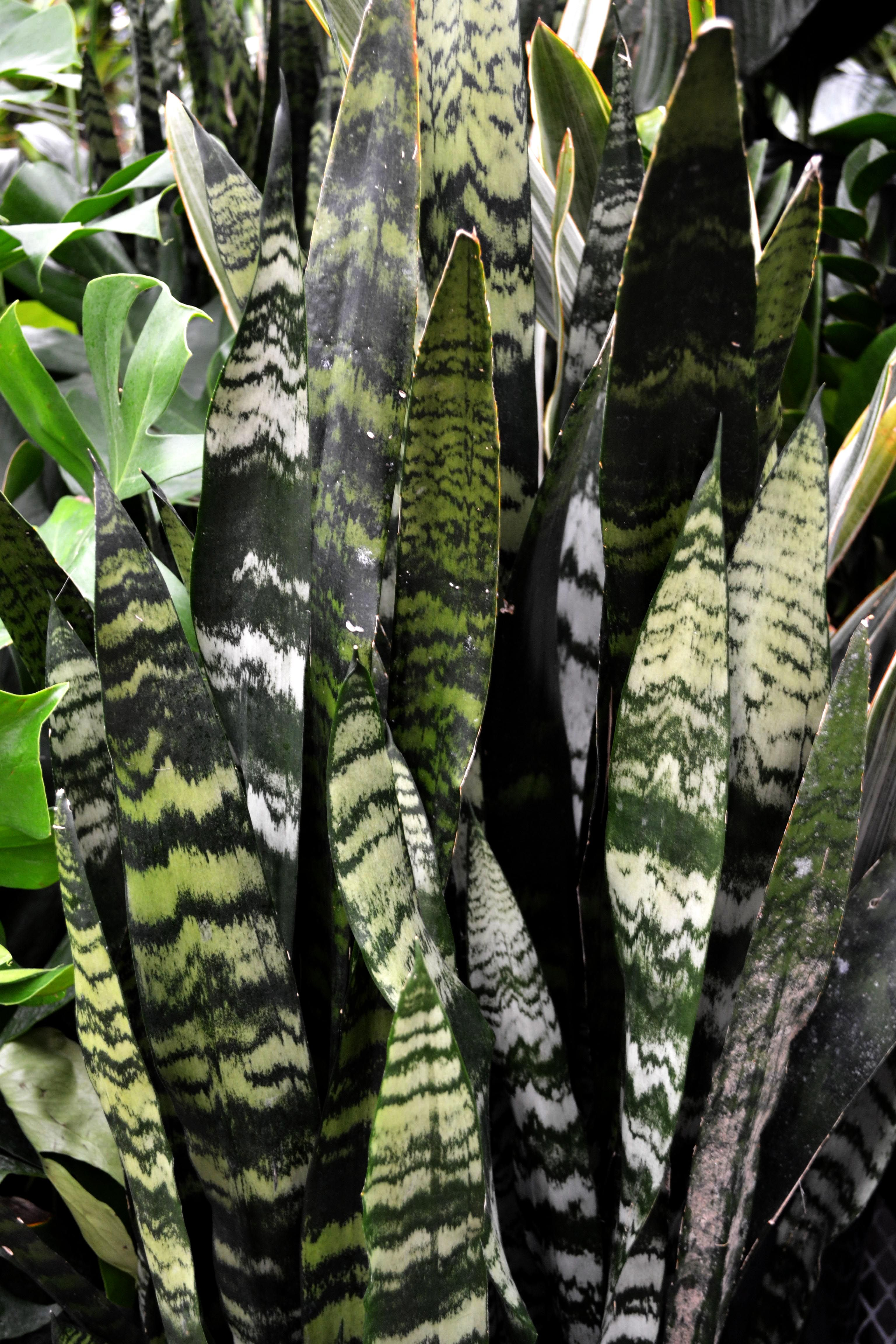 snake plants are the easy house plant to care for; plus it grows
