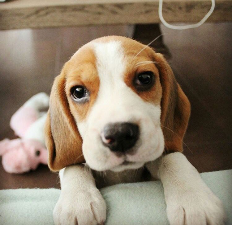 Beagle Puppy Howl Beagle Puppy Dogs Cute Beagles