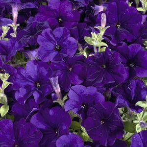 Celebrity Blue Petunia Seeds For Sale Petunias Flower Seeds Petunia Flower