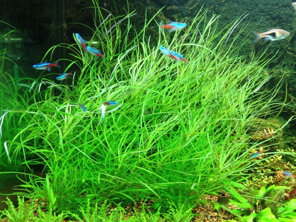 Plants in my aquarium pogostemon octopus aquarium for Freshwater pond plants