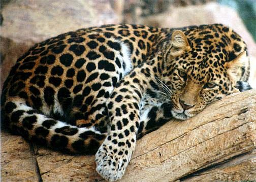 The North China Leopard, Highly Endangered Beautiful, Big, Spotted Wild Cat  Photograph brought to you by HDW Ent… | Leopard pictures, Wild cats, Bengal  cat breeders