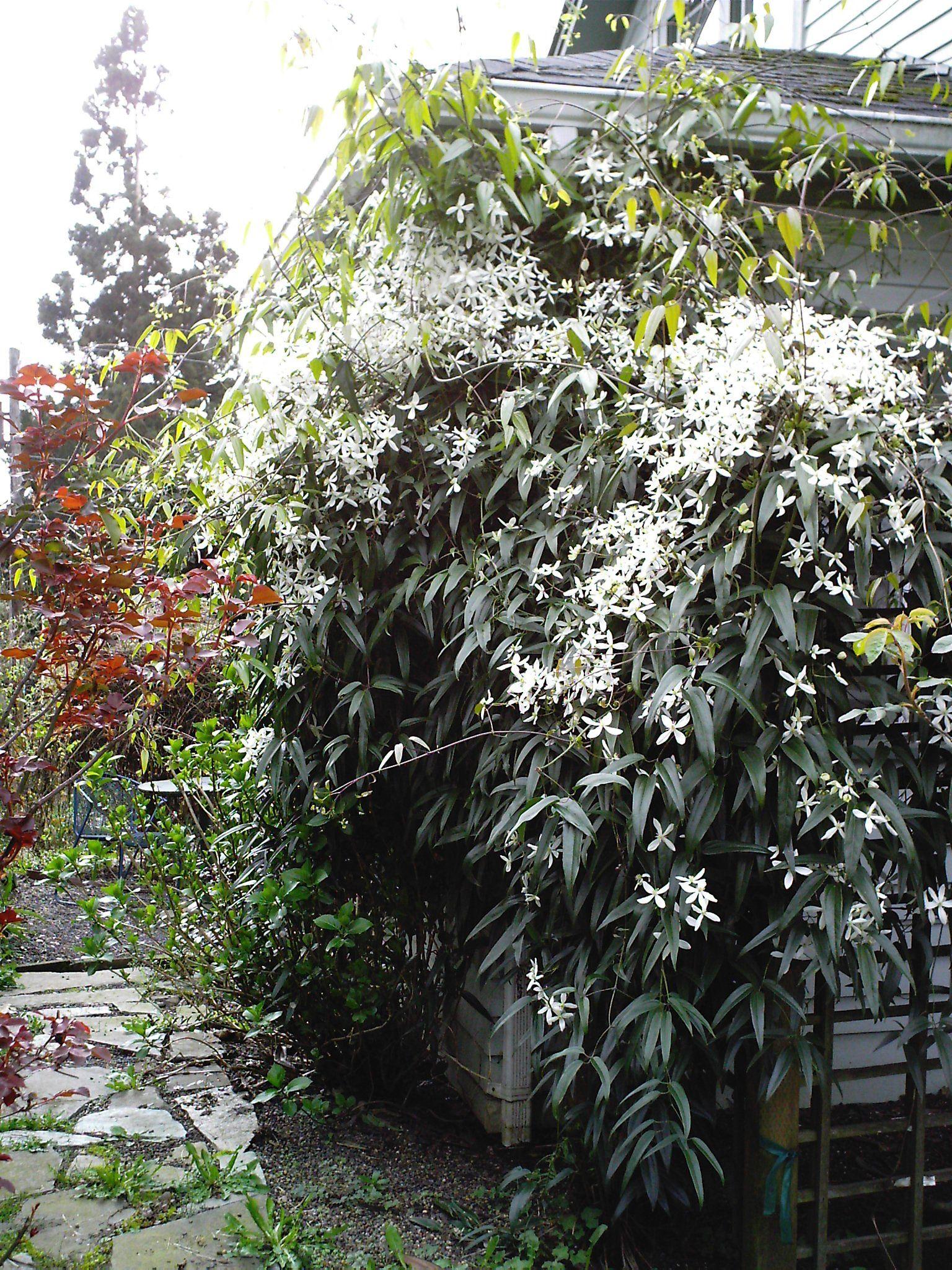 Evergreen Clematis In Bloom Garden Plants Outdoor Rooms