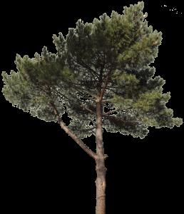 Pine 18 Texture Trees To Plant Tree Free Pine Tree