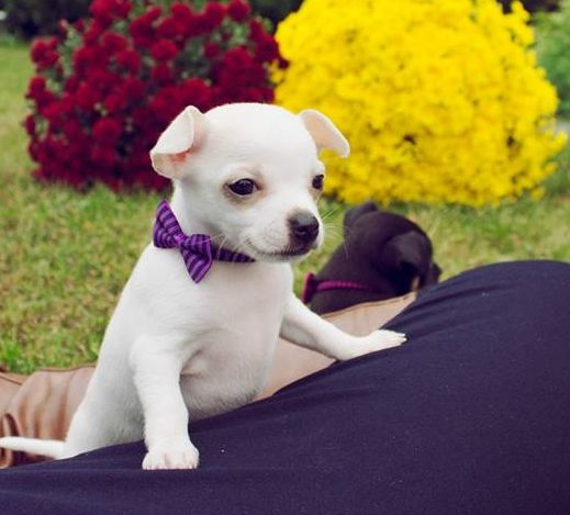 Lacey 7 Weeks Pet Dogs Puppies Chihuahua Love Puppies
