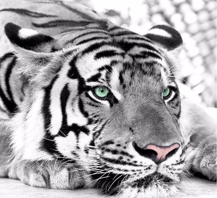 3D Wallpaper Bedroom Mural Tiger black and white animal sofa TV background #New