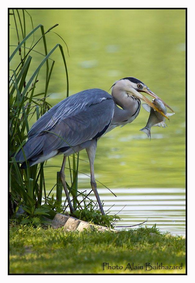 Grey heron with fish by Alain Balthazard
