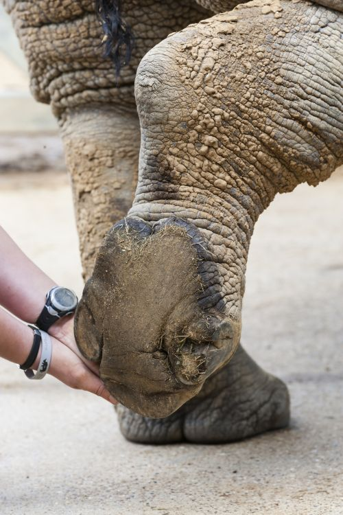 Foot health check on a white rhino at a UK zoo. Photo by Ann & Steve ...