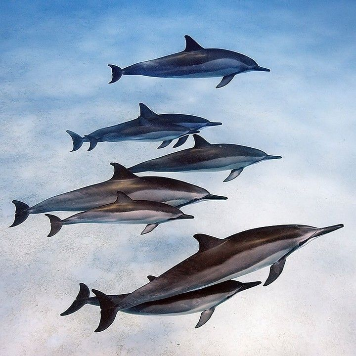 Are they swimming or are they flying? -- regram @natgeo (Photo by @BrianSkerry) A pod of spinner dolphin mothers and calves socialize in the shallow waters off of Oahu Hawaii. Spinners are among the most social species of dolphins often seen in larger groups.  For several hours each morning they play together in locations close to shore then rest. But even when sleeping dolphins keep one half of their brain awake. As voluntary breathers they must remain partially awake to breathe and to be…