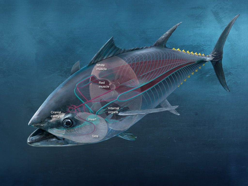The super fish unmatched for its athleticism and endurance for Tuna fishing videos