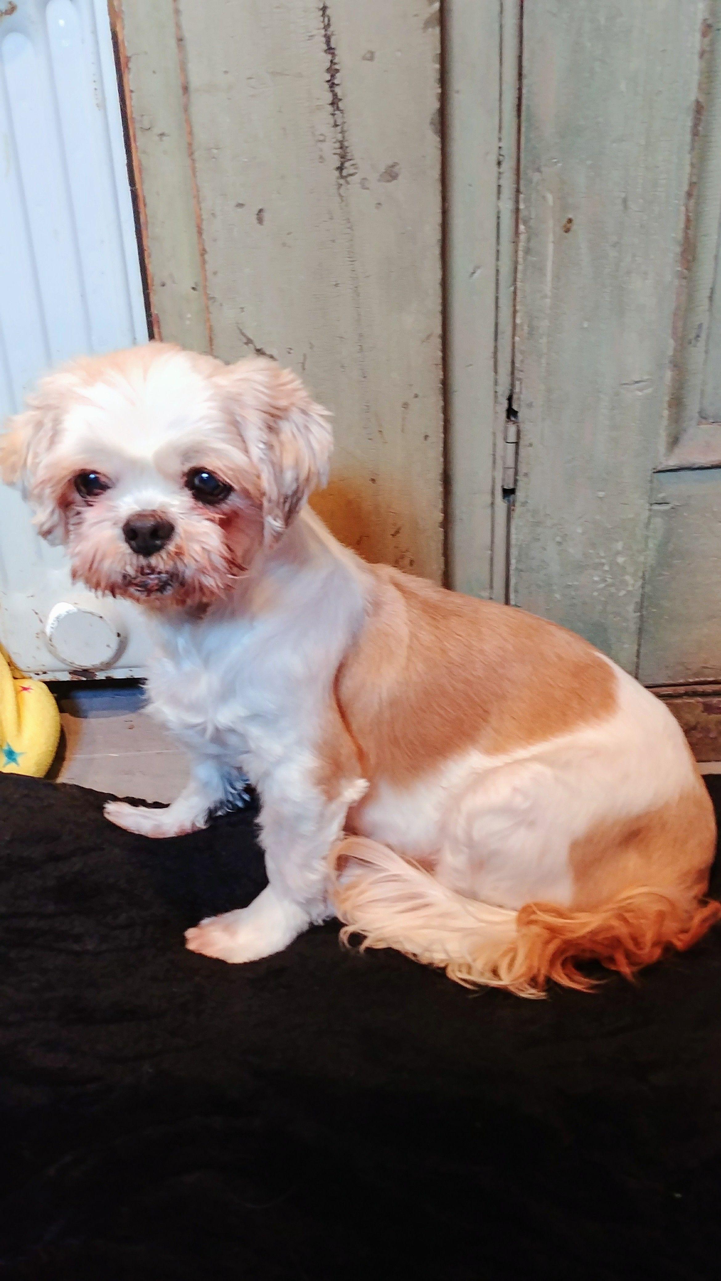 Shih Tzu Dog For Adoption In Beloit Wi Adn 733188 On Puppyfinder