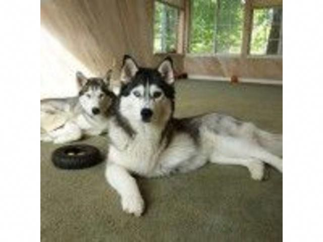 Listing Siberian Husky Puppies Ready For Adoptio Is Published