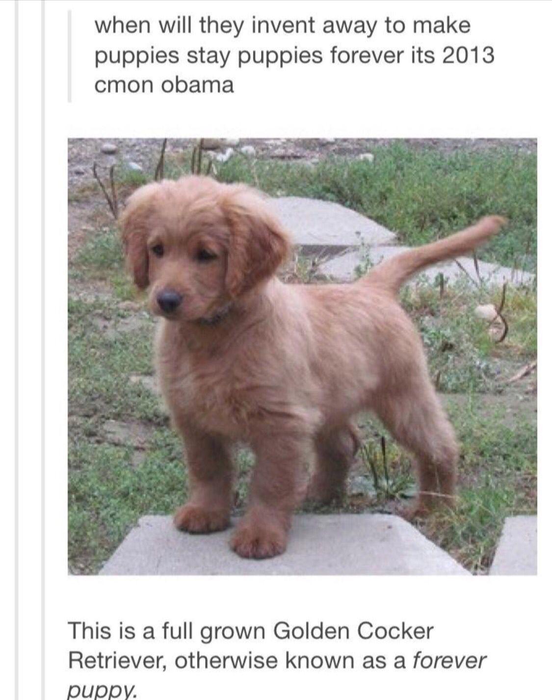 Forever Puppy Forever Puppy Golden Cocker Retriever Golden