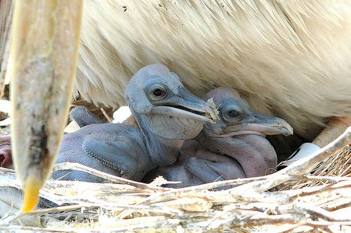 Now You Know What Baby Pelicans Look Like Birds Birds