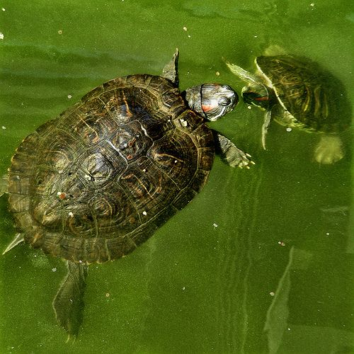 Turtles find love in algae verdant waters and they are at home with their feelings.