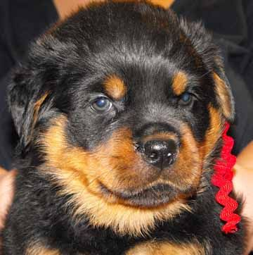 Puppy Photos Collection Rottweiler Puppy Best Pictures