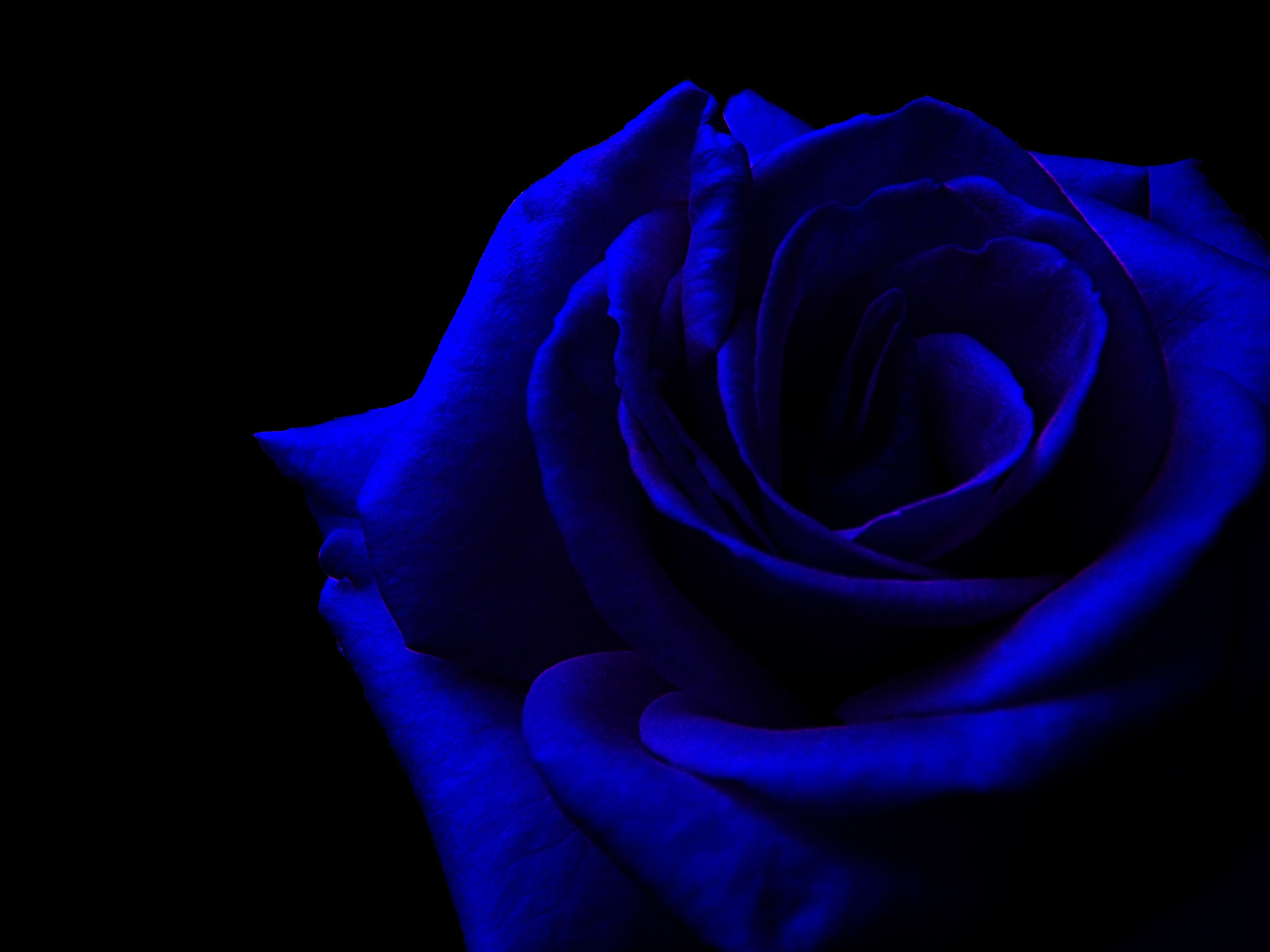 Dark Blue Roses Related Keywords & Suggestions Dark Blue