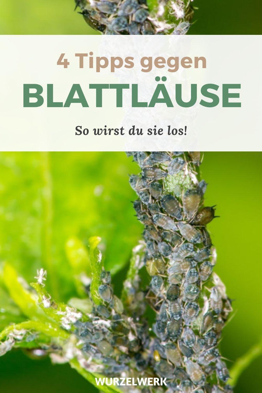 Die 4 wirksamsten Tipps gegen Blattläuse - ohne Chemiekeule! - Wurzelwerk