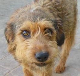 Adopt Estie On Border Terrier Terrier Dogs Dogs
