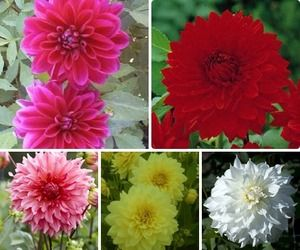 Image of Dinner Plate Dahlia Collection