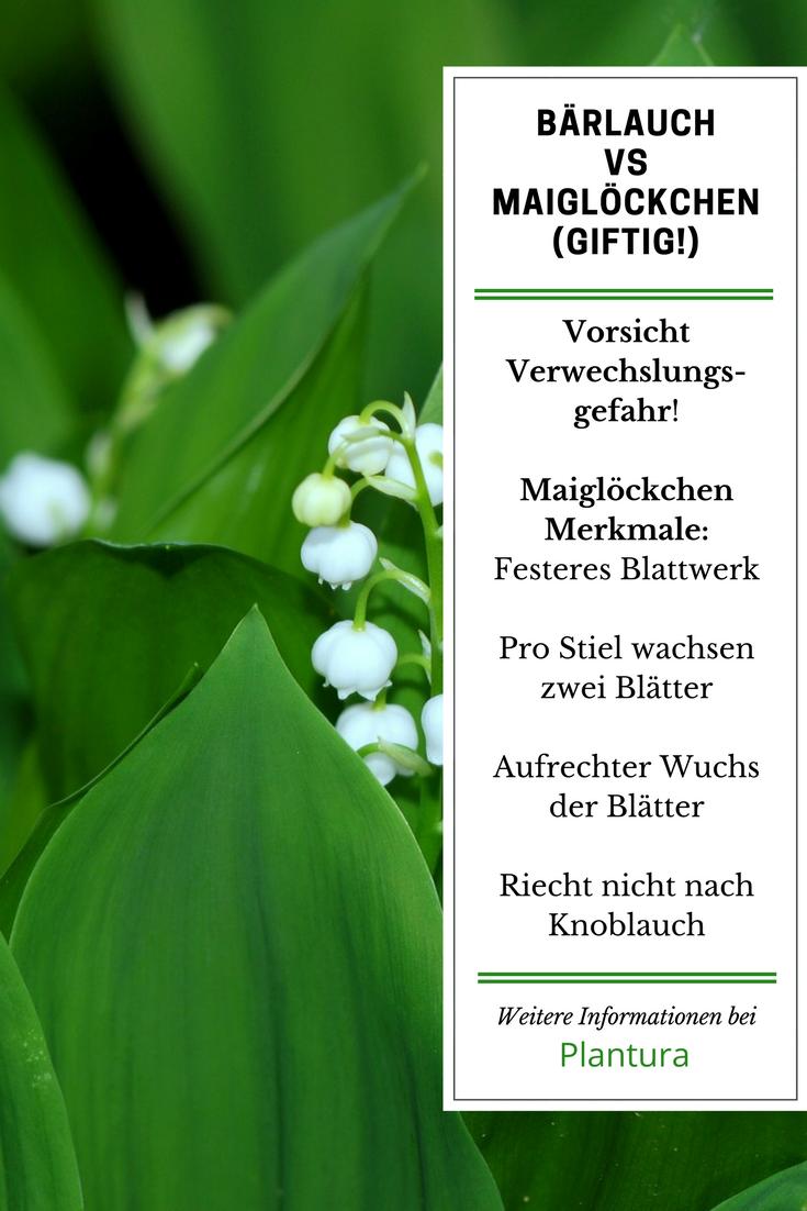 Barlauch Erkennen Nicht Verwechseln Plantura Barlauch Giftige Pflanzen Herbstzeitlose