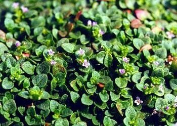 Corsican Mint Herb Plant Mentha Requienii 4 Pot By Hirts Herbs On Amazon Prosperity Health Planting Herbs Mint Plants Mint Herb