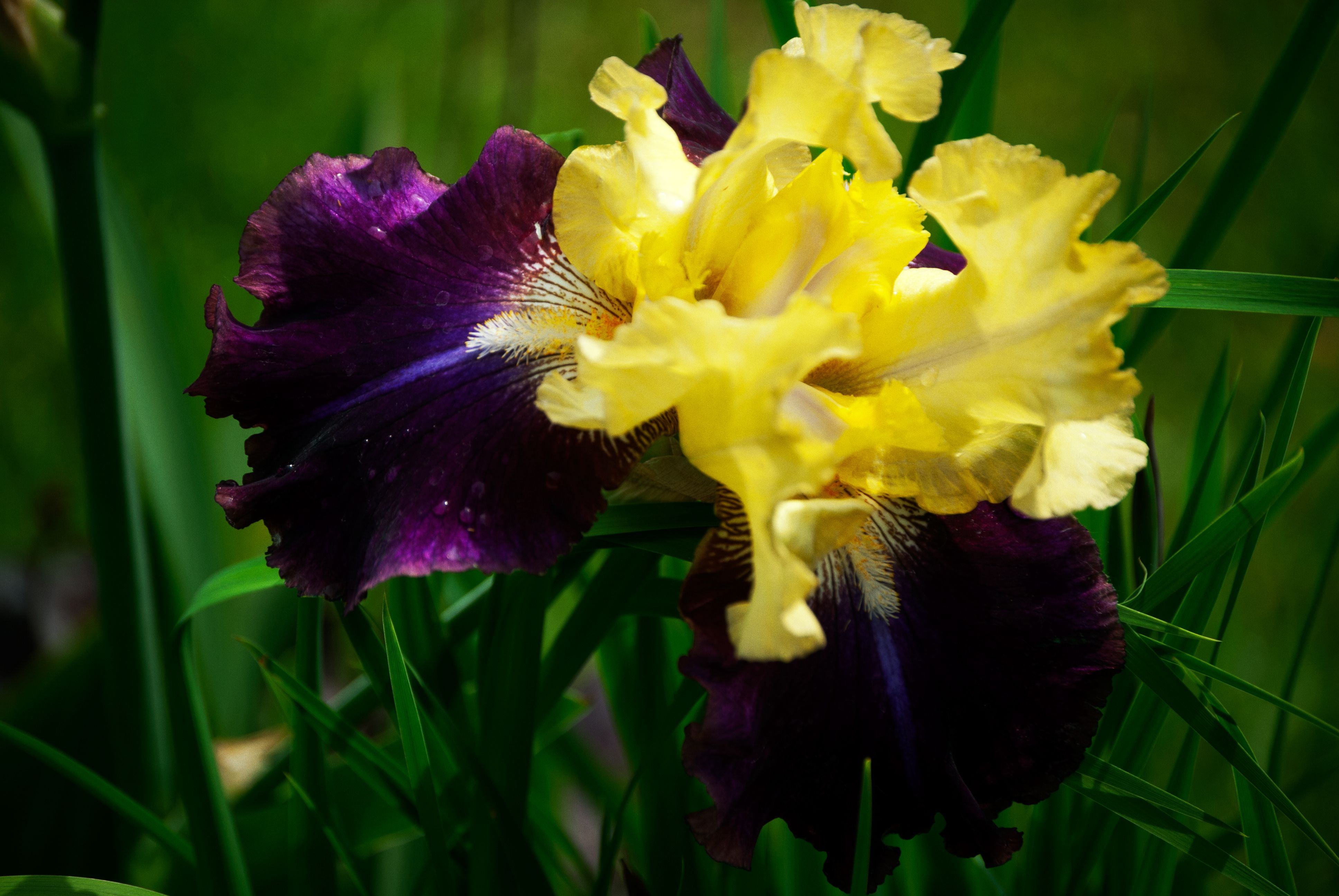 Purple yellow iris jamaican dream love me love me not purple yellow iris jamaican izmirmasajfo Images