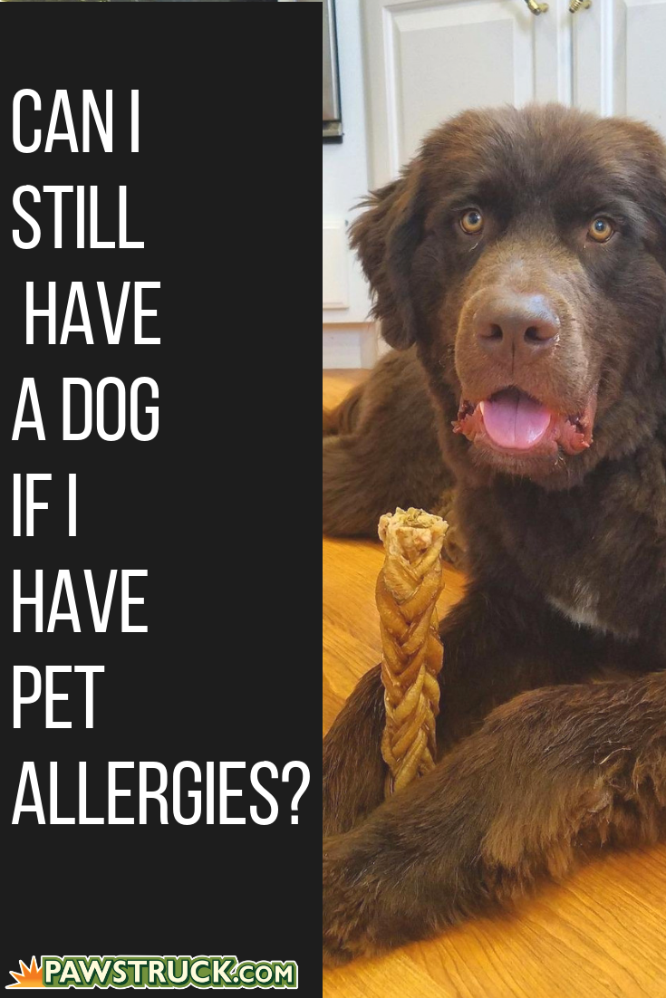 Can I Still Have A Dog If I Have Pet Allergies Pet Allergies Dogs Hypoallergenic Dog Breed